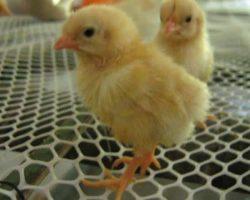 Poultry_Net_1